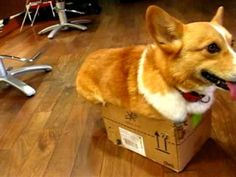 Angry Corgi Wants You To Leave Him And His Box Alone