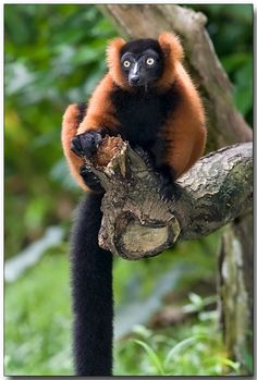 Red ruffed lemur:  Critically endangered:  Logging, burning of habitat, cyclones, mining, hunting, and the illegal pet trade are primary threats.