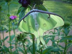 April 2010 Watched this Luna Moth fill-out after it emerged from its cocoon...looked like a weird worm at first!  Was amazing!