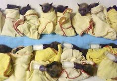 Trish Wimberley/Australian Bat Clinic -- Highs surpass 120, scorching the Outback while North America freezes. Baby bats, waiting to be fed, found shelter from the sweltering heat that has killed at least 50,000 bats in Queensland's southeast. A large number of parrots, kangaroos and emus also have died in the extreme heat.
