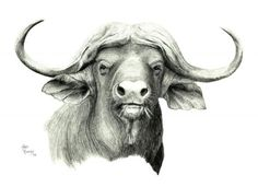 Cape buffalo drawing for an embroidery design.