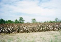 Cotton fields South Carolina