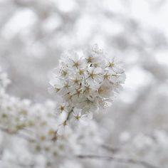 【mr.bluesky】さんのInstagramをピンしています。 《#tbt. A few more weeks until #Spring! #sakura #cherryblossoms》