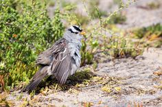 Male White-crowned Sparrow (Zonotrichia leucophrys)  He's fluffing up to maximize sun exposure on his feathers, probably to help remove pesky feather mites using UV rays from the sun. :-)  Cabrillo National Monument, San Diego, CA, USA