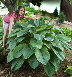 Hosta 'Empress Wu'  Mature size 36-48 inches.  Wow!
