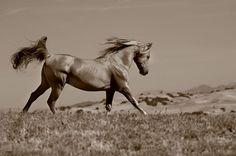 photos-of- arabian-horses-0105a