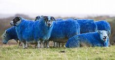 If you have driven on the in Scotland lately and seen red and blue sheep grazing on the fields, be sure that it's not a hallucination. Alpacas, Shades Of Blue, Red And Blue, Baa Baa, Turn Blue, Sheep And Lamb, Counting Sheep, Endangered Species, Animals And Pets