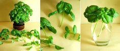 Selecciona algunos tallos de 10 cm aproximadamente y déjalos en un vaso con agua donde les llegue luz directa. Cuando las raíces crezcan hasta los 2 cm, plántalos en una maceta y ya tendrás tu planta de albahaca para condimentar tus comidas.