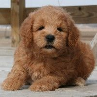 Miniature Goldendoodles. Possibly the perfect puppy.