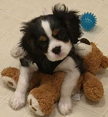 Tricolor Cavalier puppy available