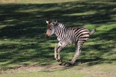 Keepers at Taronga Western Plains Zoo are excited by the arrival of their second Zebra foal in the past month. The female foal, which was born in the early hours of July 30, has been named Zina (free spirit in Swahili). 1