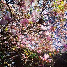 Magnolio florido.