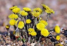 Tussilago farfara Flower Seeds Coltsfoot Price per 1 packet Doğal Tarif Healing Herbs, Medicinal Plants, Yellow Flowers, Wild Flowers, Things Under A Microscope, Patterns In Nature, Blossom Flower, Flower Seeds, Herbal Medicine