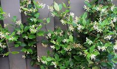"""Madison Jasmine is an evergreen vine that flowers in the summer and super fragrant. It is great on a fence, trellis or arbor."" Gotta try this."