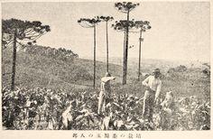 """Corn Field of Japanese Immigrant, Brazil"", Juvenile Encyclopedia, 1932 Vol. 14 World Geography 兒童百科大辭典 第十四巻 地理篇(三) 玉川學園出版部 昭和七年"