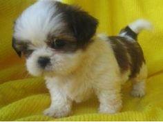 two miniture girl shih tzu puppies