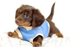 Roupas para cachorros- Filhote de roupinha