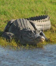 Alligator. In central Florida