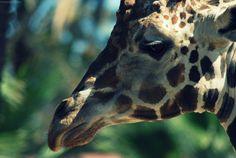 Giraffes are so cute!
