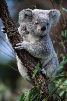 Koala on eucalyptus branch - Google Search                                                                                                                                                                                 More