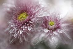 FROSTY  FLOWERS by Charo  Arroyo on 500px