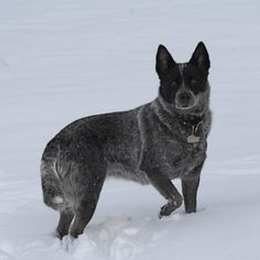 Blue Cattle dog