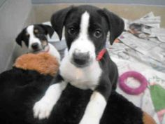 Are you looking for a puppy to grow up with you and be your best friend for life? If so, then look no further! My name is Darwin and I want to be a part of your family today - isn't that what you want too? I am a neutered male, black and white Hound mix and I am about 9 weeks old (ID#A078492)