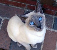 Siamese cat beautiful....