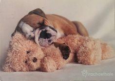 Slapende Engelse Bulldog.