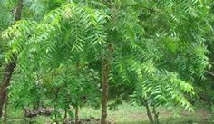 sadhguru neem is a very unique tree and neem leaves are the most  25 different types of trees and their uses