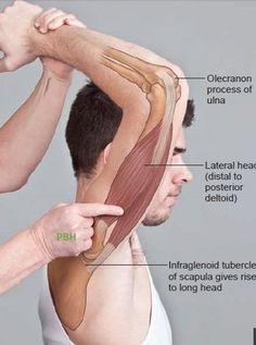 Yoga Anatomy, Human Body Anatomy, Human Anatomy And Physiology, Muscle Anatomy, Massage Corps, Physical Therapy School, Gross Anatomy, Medical Anatomy, Massage Techniques