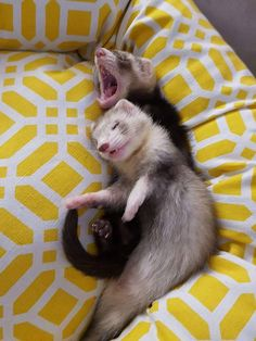 From the Chrysalis Baby Ferrets, Funny Ferrets, Pet Ferret, Baby Animals Pictures, Funny Animal Pictures, Animals And Pets, Cute Little Animals, Cute Funny Animals, Cute Dogs