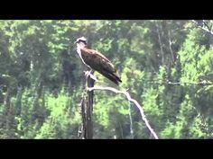 Osprey Afternoon July 2015