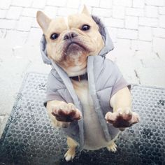 Behold: The Inescapable Cuteness of French Bulldog Puppies | Dogster