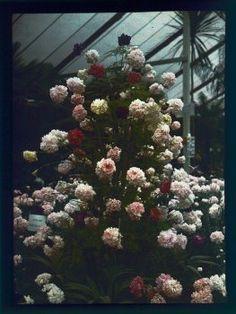 Autochrome 9x12 Fleurs sous serre - Henri Chouanard - Antiq Photo - Photographies - [( 04. Autochromes|supprimer_numero)] - Achat, vente et estimation gratuite d'appareils photos anciens, de photographies de collection et de daguerréotypes.