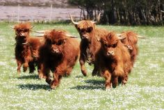 Highland cattle were cominggggg. Scottish Highland Cow, Highland Cattle, Farm Animals, Animals And Pets, Cute Animals, Beautiful Creatures, Animals Beautiful, Mini Cows, Fluffy Cows