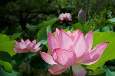 京都フォト通信: 蓮の花