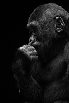 The Thinker by Andrés López. Silverback Gorilla, Chimpanzee, Orangutan, Animals Black And White, Black And White Pictures, Squirrel Pictures, Animal Pictures, Wildlife Photography, Animal Photography