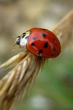 Ladybug or Lady bird, found throughout the world - over 5,000 species described, more than 450 native to North America alone.