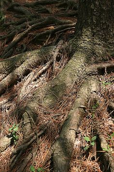 강화도 어느 고목. 굳건한 뿌리가 세월을 말해준다