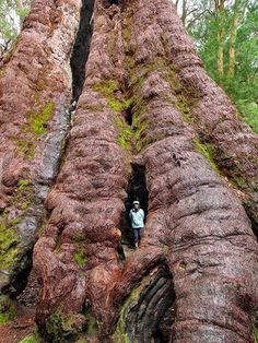 Enache Amalia - Red Tingle Tree, sw Australia