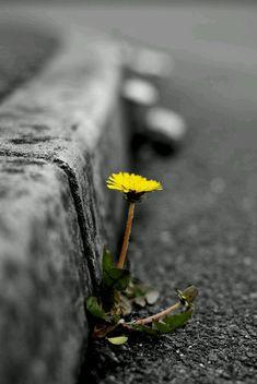 color splash dandelion / yellow Nature is the best Art Maker