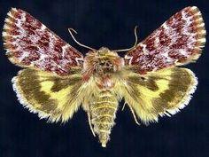 Schinia lucens, Leadplant Flower Moth