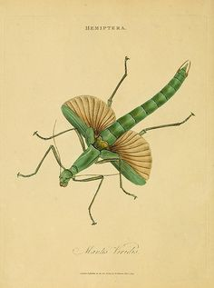 013-Mantis Viridis- An epitome of the natural history of the insects of India…1800- Edward Donovan