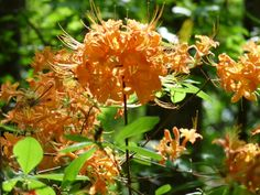 Native Flame Azalea