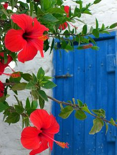 Red hibiscus Blue wooden door and red hibiscus Chora Astypalea Island Dodecanese Greece