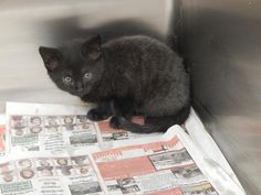 9 11 16 Danny - URGENT - PIKE COUNTY ANIMAL SHELTER in Pikeville, Kentucky - ADOPT OR FOSTER - Male KITTEN Domestic SH Mix