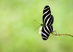 "#Zebra #Longwing #Butterfly by Debra Martz #GreetingCard 5x7"" and can be personalized by you on the inside"