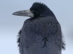 Rook :: one can tell an isolated social rook from the normally solitary crow by this whitish splash round the root of the bill