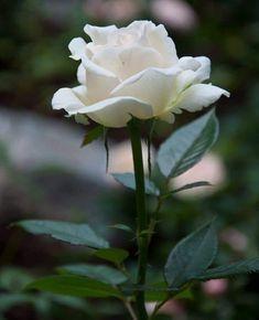 White Rose Plant, White Roses, White Flowers, White Rose Pictures, Planting Roses, Love Rose, I Am Awesome, Deviantart, Green